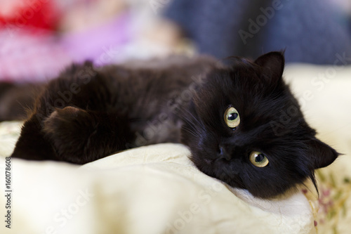 Foto auf Acrylglas Katze A cute little black cat sitting on a pillow