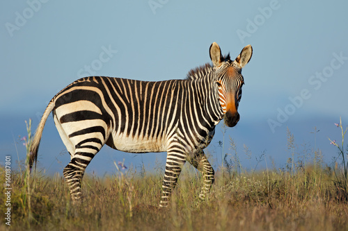Wall Murals Zebra Cape mountain zebra (Equus zebra) in grassland, Mountain Zebra National Park, South Africa.