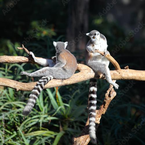 Valokuvatapetti Two Tailed lemurs sitting on a branch