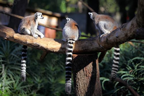 adult lemurs katta (Lemur catta) Canvas-taulu