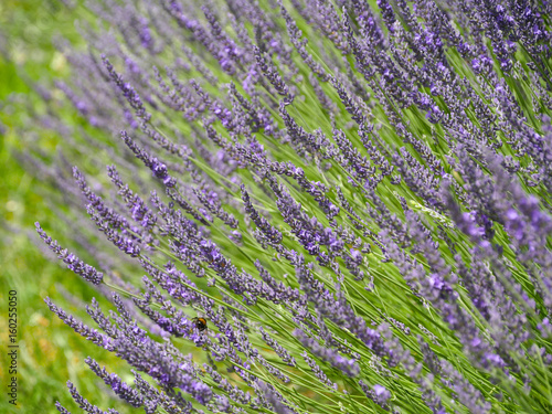 Fotobehang Lavendel lavande en massif (horizontal)
