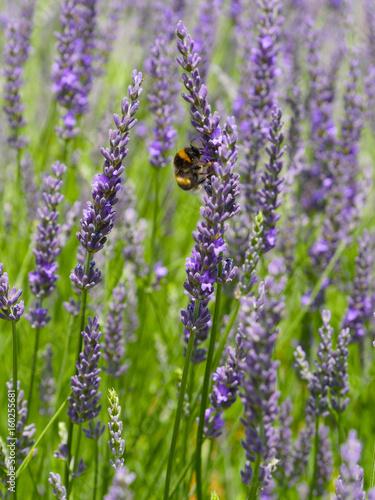 Poster Lavendel abeille et lavande