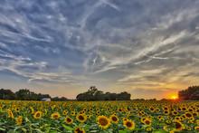 """Sunflower Sunset"""