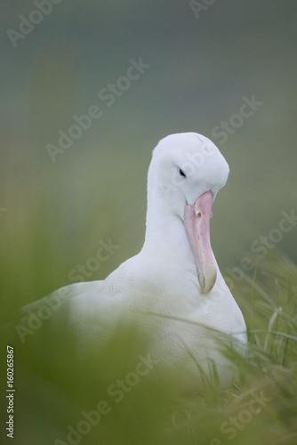 Fotografija Wandering Albatross (Diomedea exulans)