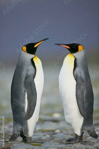 Papiers peints Pingouin King Penguin (Aptenodytes patagonicus) performing a courtship ritual song