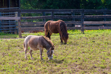 Two Brown Draft Horses On Farm Land