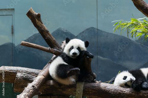 Fotografija  Baby Pandas