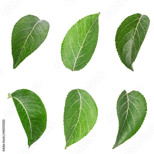 Apple tree leaf isolated on a white Wall mural