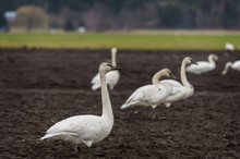 Trumpeter Swans In The Skagit ...
