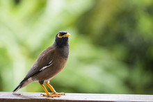 Portrait Hill Mynah, Gracula Religiosa Bird, The Most Intelligent Birds In The World.