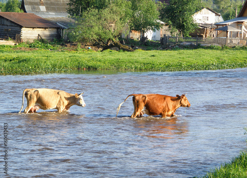 фотография  Two cows crossing a ford in the river