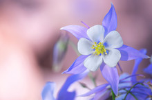 Blooming Columbine Flower And ...