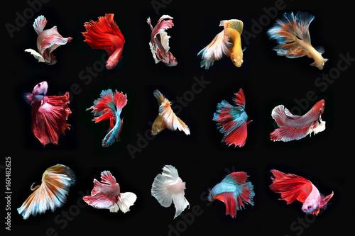 Total beautiful Fighting fish. Wallpaper Mural