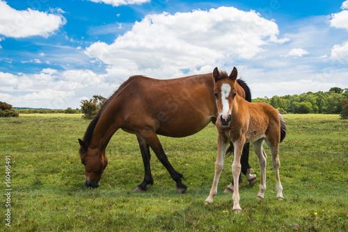 Fotografie, Obraz  Wild, New Forest ponies, Hampshire, England