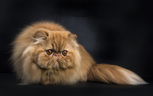 Red Persian Cat In Hunting Pose Isolated On Black Background