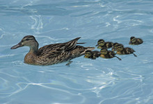 Mother Duck With Six Ducklings