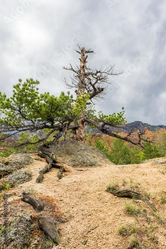 Сухая сосна на вершине горы