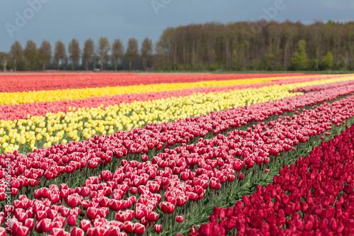 Dutch farmland with colorful tulip fields