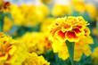 Leinwanddruck Bild - Marigold flowers in the garden