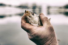Roach In Fisherman's Hand, Toned