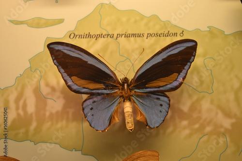 Photo sur Toile Papillons dans Grunge Ornithoptera priamus poseidon Schmetterling Falter