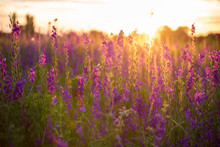 Wonderful Sunset. Fantastic Colorful Landscape With Blue And Pink Lupine Flowers