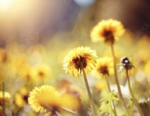 Fototapety, obrazy: Yellow flowers of a dandelion
