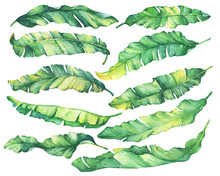 Big Set Exotic Tropical Banana Green And Yellow Leaves.Watercolor Hand Drawn Painting Illustration, On White Background.