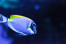Powderblue Tang Fish Acanthuru...