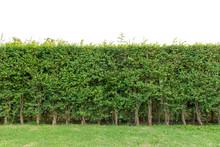 Hedge Fence Or Green Leaves Wa...