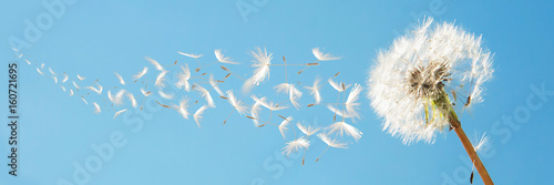 Poster de jardin Pissenlit Beautiful flying dandelion seeds in the Wind on blue sky.