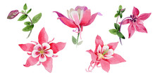 Wildflower Aquilegia Flower In A Watercolor Style Isolated.