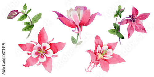 Photo Wildflower aquilegia flower in a watercolor style isolated.