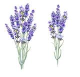 Lavandula aromatyczne kwiaty ziołowe. - 160760862