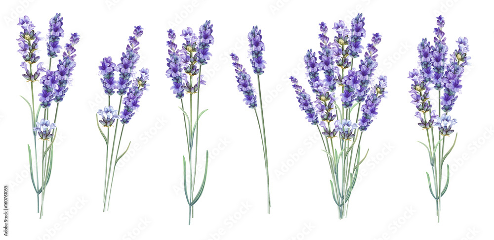 Fototapety, obrazy: Lavandula aromatic herbal flowers.