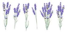 Lavandula Aromatic Herbal Flow...