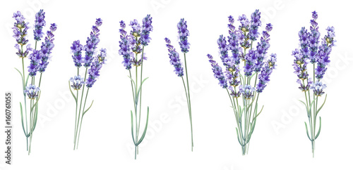 Photo  Lavandula aromatic herbal flowers.