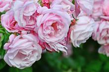 Pink Climbing Rose Bush Flower...