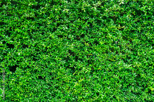Fotografija shrubbery, Green hedges,shrubbery texture background, exterior in natural style