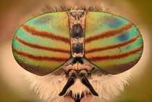 Extreme Magnification - Horse Fly Head And Eyes, Hybomitra