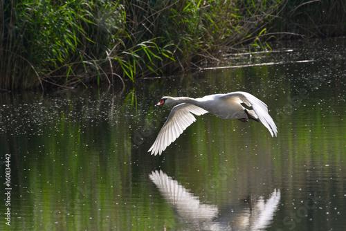 Photo  Cigno reale che sorvola il lago