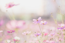 Pink Cosmos Flower Blooming In The Field