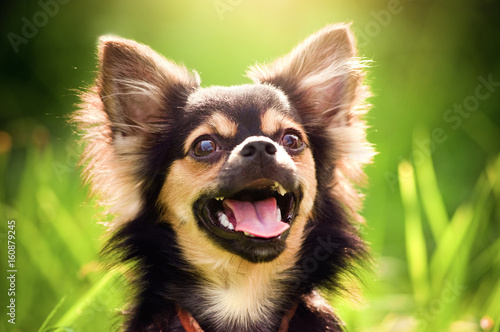 Fluffy chihuahua sit on the green grass Wallpaper Mural