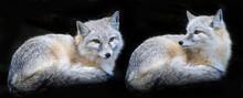 Corsac Fox - Vulpes Corsac