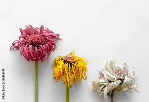 Close up fiori appassiti su sfondo bianco isolato Tablou Canvas