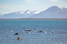 Black-necked Swan (Cygnus Melancoryphus) In Almirante Montt Gulf In Patagonia - Puerto Natales, Magallanes Region, Chile