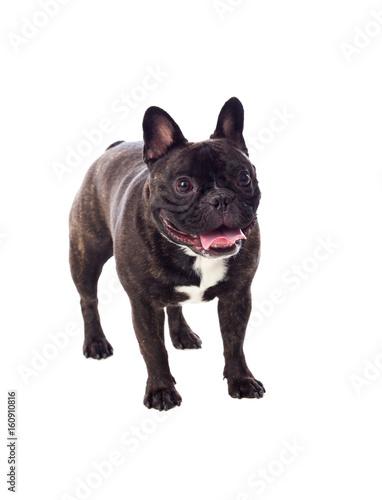 Poster Bouledogue français Portrait in Studio of a cute bulldog