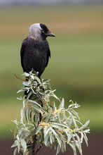 The Western Jackdaw (Corvus Monedula) Sitting On Green Bushes