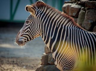 Fototapeta na wymiar Zebra close up portrait in a zoo