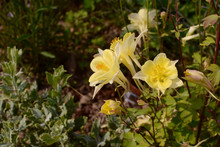 Pale Yellow Aquilegia Flowers